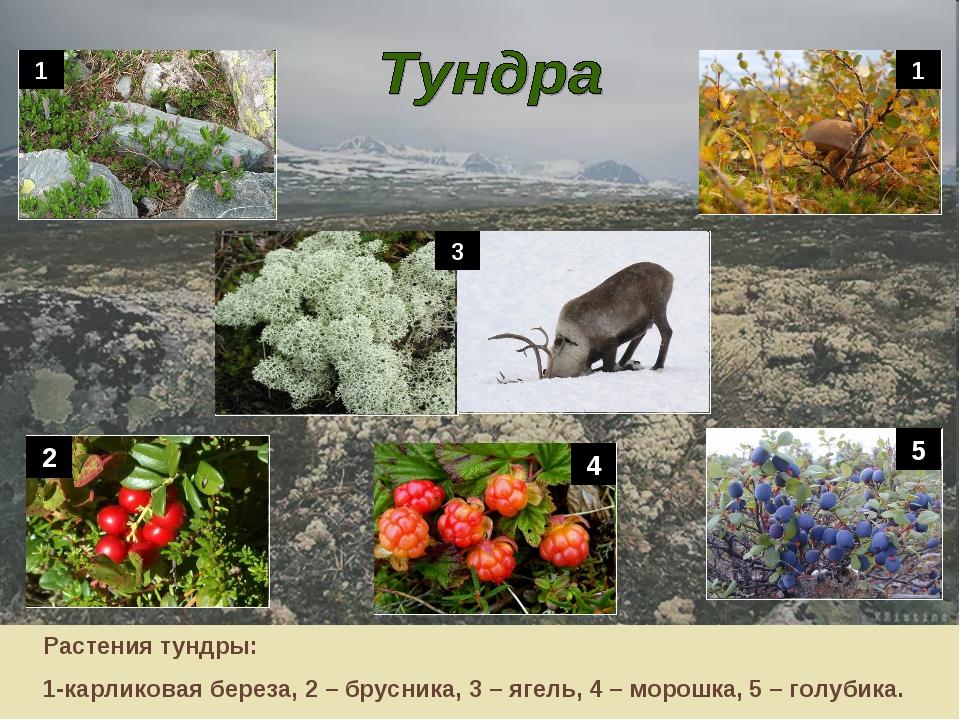 1 Растения тундры: 1-карликовая береза, 2 – брусника, 3 – ягель, 4 – морошка,...