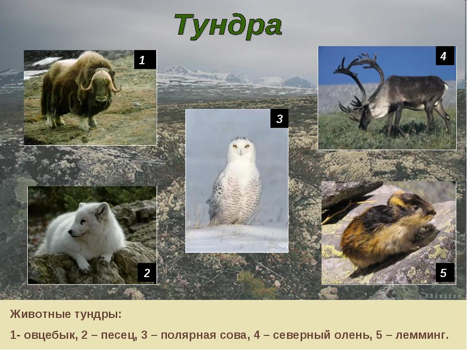 1 4 5 2 3 Животные тундры: 1- овцебык, 2 – песец, 3 – полярная сова, 4 – севе...