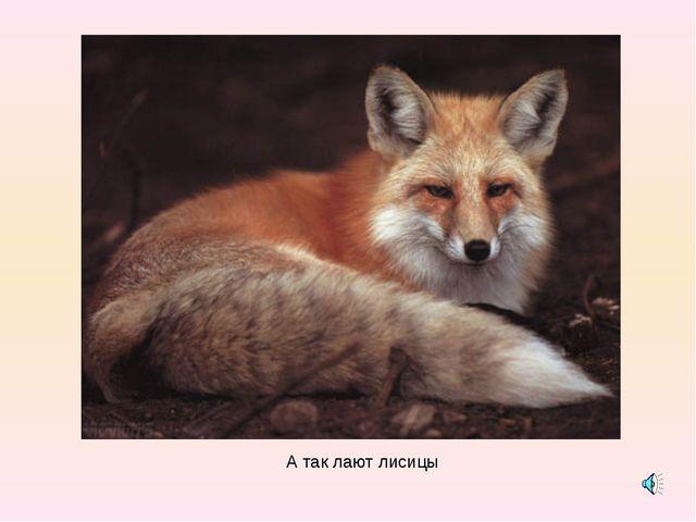 А так лают лисицы