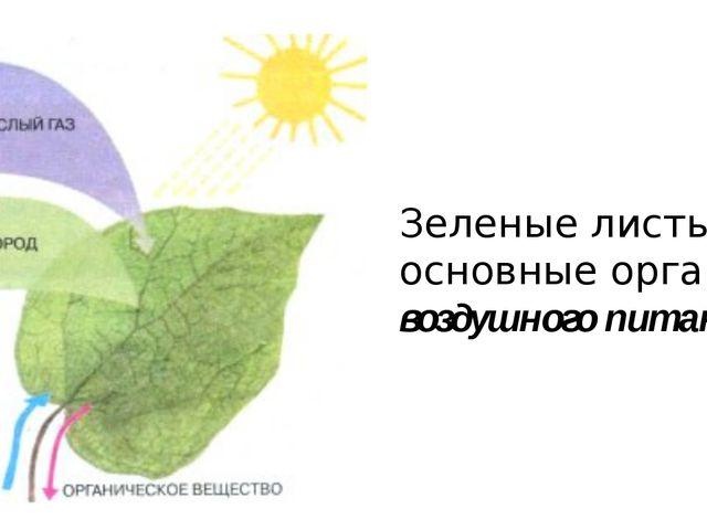 Зеленые листья – основные органы воздушного питания.