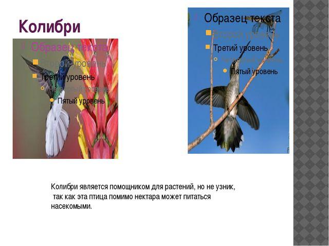 Колибри Колибри является помощником для растений, но не узник, так как эта пт...