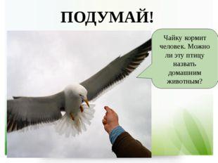 Чайку кормит человек. Можно ли эту птицу назвать домашним животным? ПОДУМАЙ!