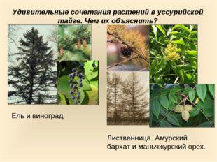 Удивительные сочетания растений в уссурийской тайге. Чем их объяснить? Ель и