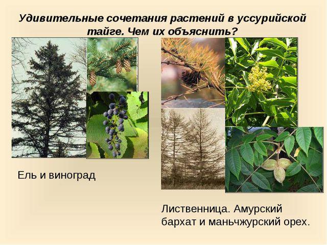 Удивительные сочетания растений в уссурийской тайге. Чем их объяснить? Ель и...