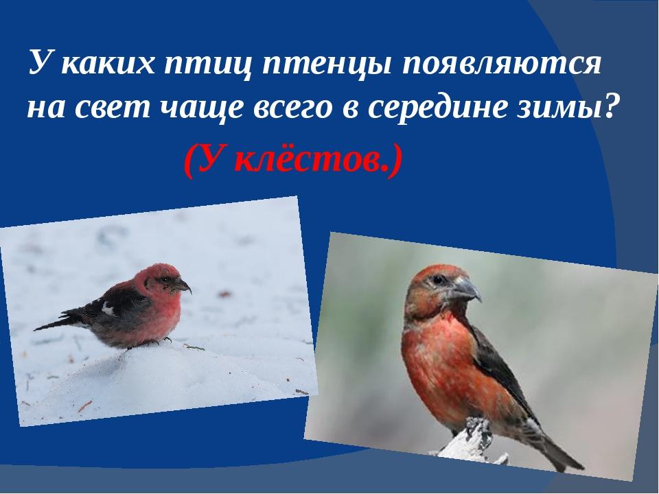 У каких птиц птенцы появляются на свет чаще всего в серединезимы? (У клёстов.)