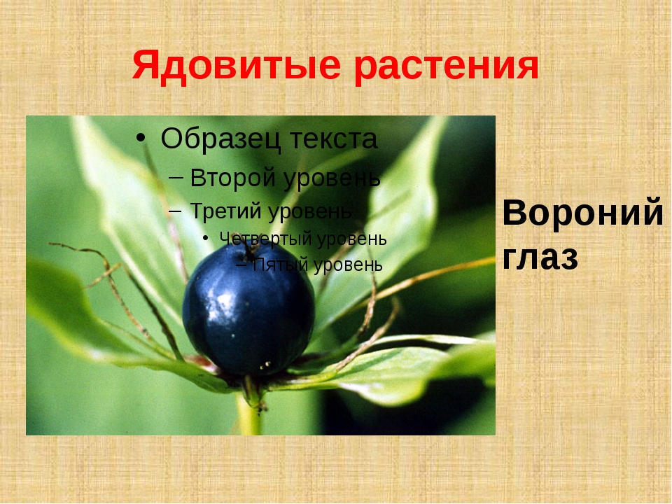 Ядовитые растения Вороний глаз