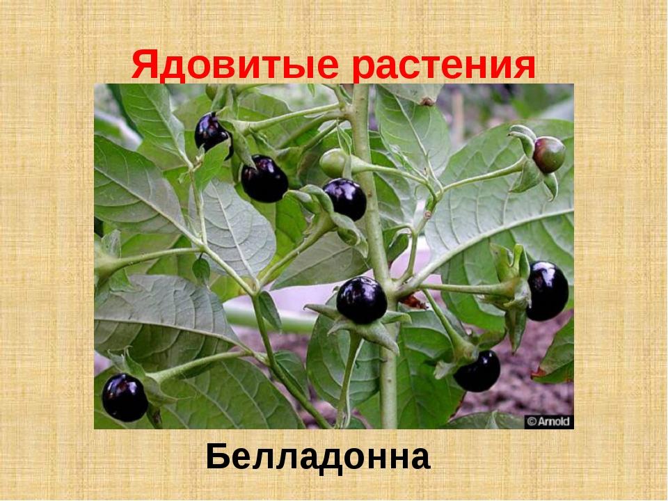 Ядовитые растения Белладонна