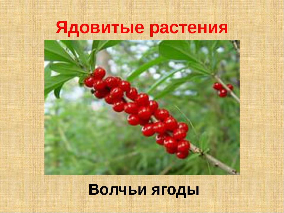 Ядовитые растения Волчьи ягоды