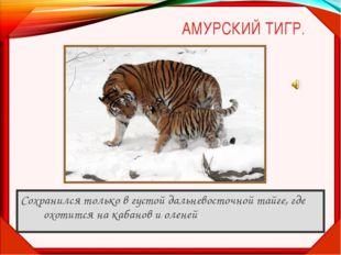 АМУРСКИЙ ТИГР. Сохранился только в густой дальневосточной тайге, где охотится