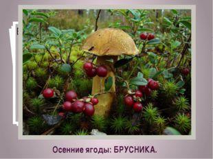 Осенние ягоды: БРУСНИКА.