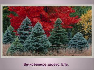 Вечнозелёное дерево: ЕЛЬ.