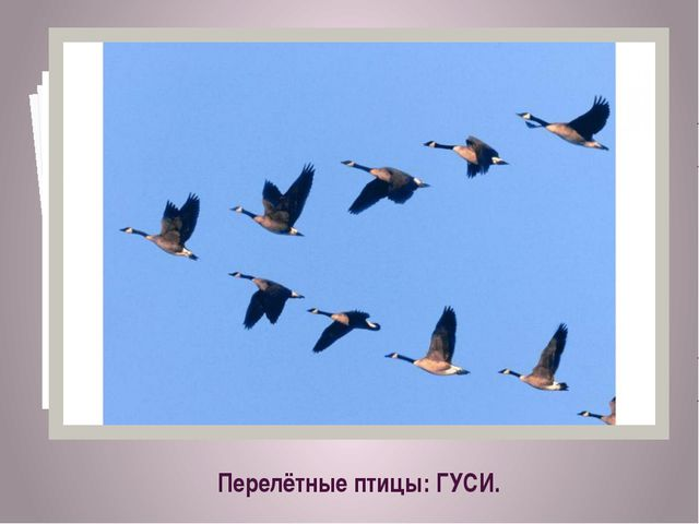 Перелётные птицы: ГУСИ.