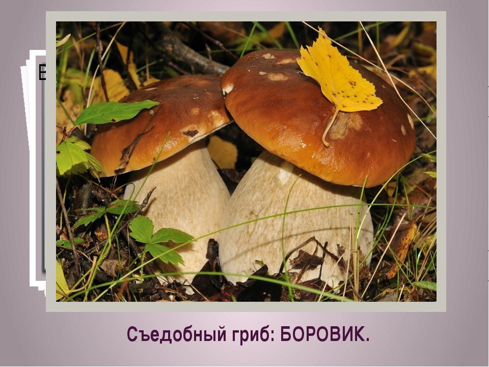 Съедобный гриб: БОРОВИК.