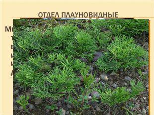 Многолетние невысокие травянистые растения, часто вечнозеленые, с прямостоячи