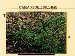 Травянистые многолетние растения. Они имеют прямостоячий надземный стебель, р