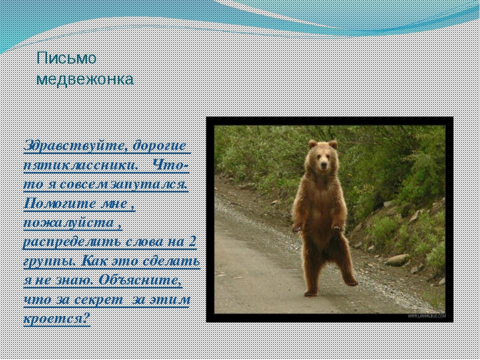 Письмо медвежонка Здравствуйте, дорогие пятиклассники. Что-то я совсем запута...