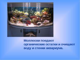 Моллюски поедают органические остатки и очищают воду и стенки аквариума.