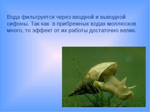 Вода фильтруется через вводной и выводной сифоны. Так как в прибрежных водах