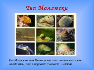 Тип Моллюски Тип Моллюски или Мягкотелые – от латинского слова «molluskus», ч
