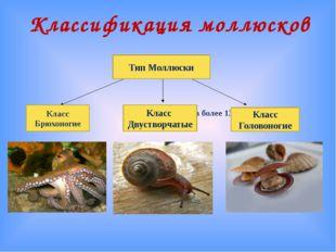 Классификация моллюсков Количество видов более 130 тысяч Тип Моллюски Класс Б