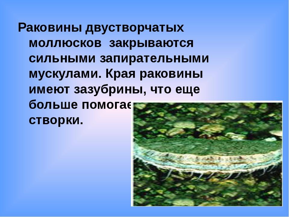 Раковины двустворчатых моллюсков закрываются сильными запирательными мускулам...