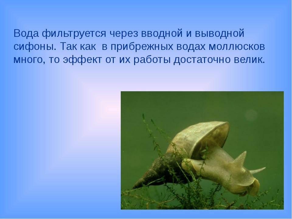 Вода фильтруется через вводной и выводной сифоны. Так как в прибрежных водах...