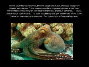 Тело у осьминогов короткое, мягкое, сзади овальное. Ротовое отверстие располо