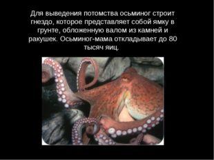 Для выведения потомства осьминог строит гнездо, которое представляет собой ям
