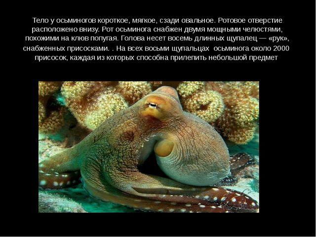Тело у осьминогов короткое, мягкое, сзади овальное. Ротовое отверстие располо...
