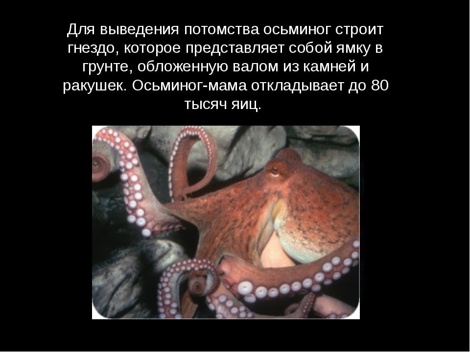 Для выведения потомства осьминог строит гнездо, которое представляет собой ям...
