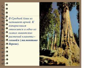 В Средней Азии их называют арчой. К кипарисовым относится и одно из самых ги