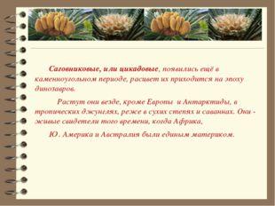 Саговниковые, или цикадовые, появились ещё в каменноугольном периоде, расцве