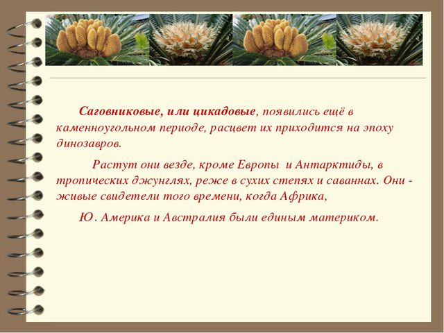 Саговниковые, или цикадовые, появились ещё в каменноугольном периоде, расцве...