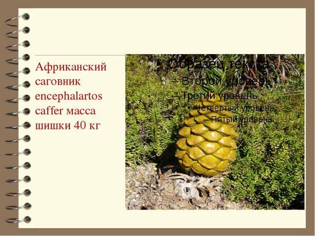 Африканский саговник encephalartos caffer масса шишки 40 кг