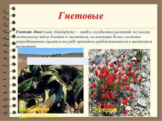 Гнетовые Гнетови́дные (лат.Gnetóphyta)— отдел сосудистых растений, по своем...