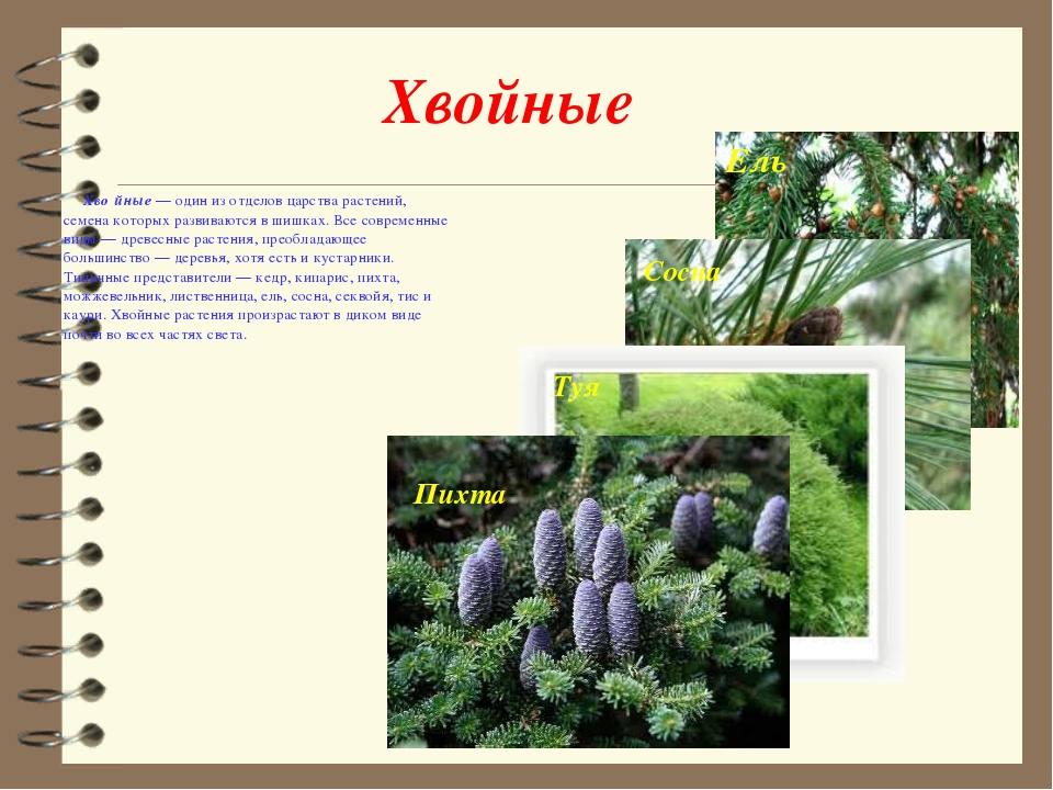 Хвойные Хво́йные— один из отделов царства растений, семена которых развивают...