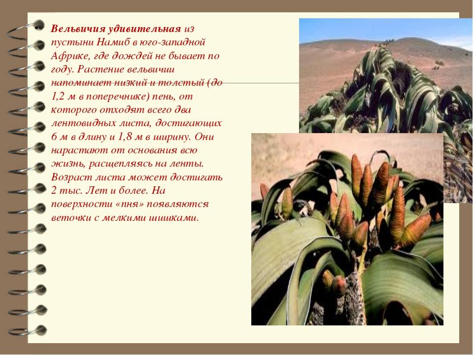 Вельвичия удивительная из пустыни Намиб в юго-западной Африке, где дождей не...