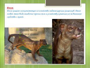 Фосса Фосса хищное млекопитающее из семейства мадагаскарских хищников. Ранее