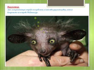 Руконожка Это млекопитающее отряда полуобезьян семейства руконожковых можно в