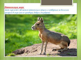Патагонская мара Этот «кролепёс» является патагонским зайцем и четвёртым по в