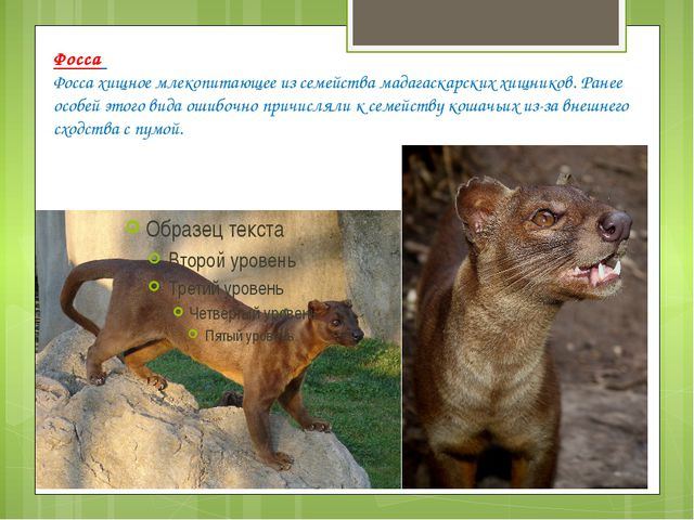 Фосса Фосса хищное млекопитающее из семейства мадагаскарских хищников. Ранее...