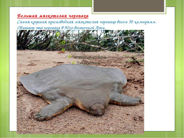 Большая мягкотелая черепаха Самая крупная пресноводная мягкотелая черепаха ве...