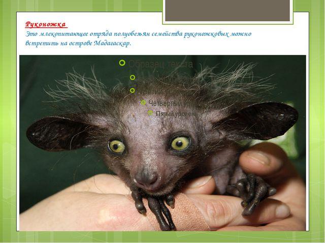 Руконожка Это млекопитающее отряда полуобезьян семейства руконожковых можно в...