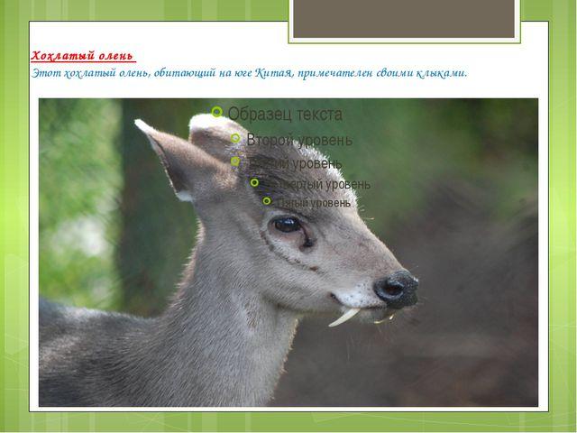 Хохлатый олень Этот хохлатый олень, обитающий на юге Китая, примечателен свои...