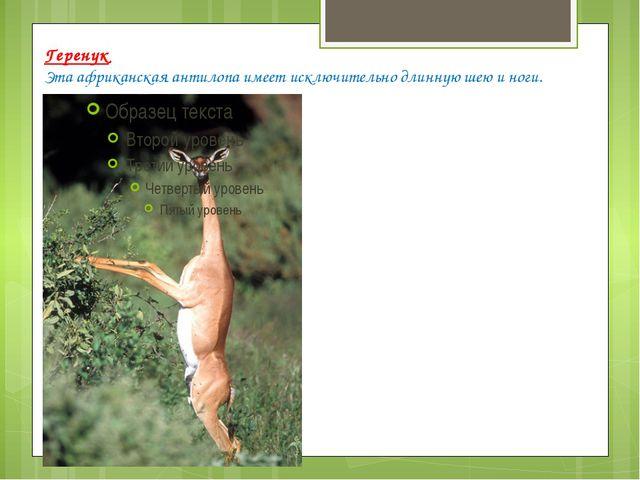 Геренук Эта африканская антилопа имеет исключительно длинную шею и ноги.