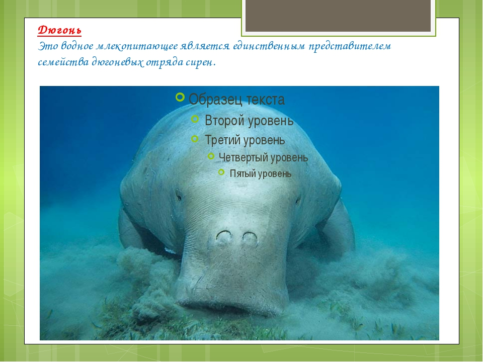 Дюгонь Это водное млекопитающее является единственным представителем семейств...