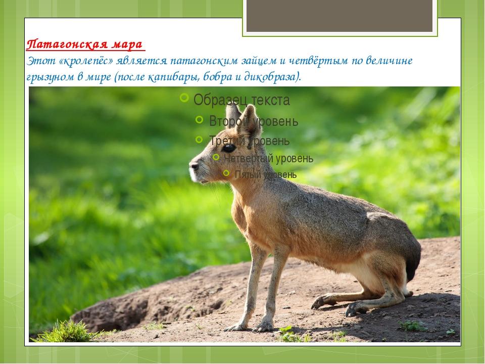 Патагонская мара Этот «кролепёс» является патагонским зайцем и четвёртым по в...