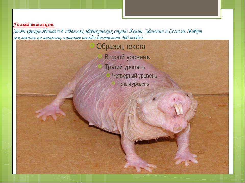 Голый землекоп Этот грызун обитает в саваннах африканских стран: Кении, Эфиоп...