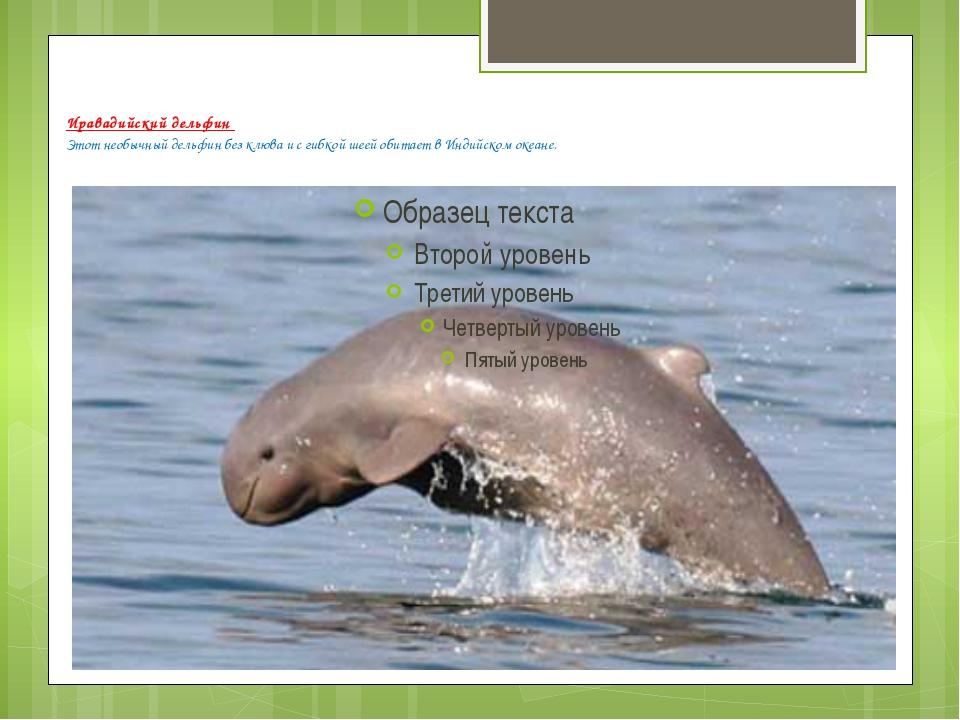 Иравадийский дельфин Этот необычный дельфин без клюва и с гибкой шеей обита...