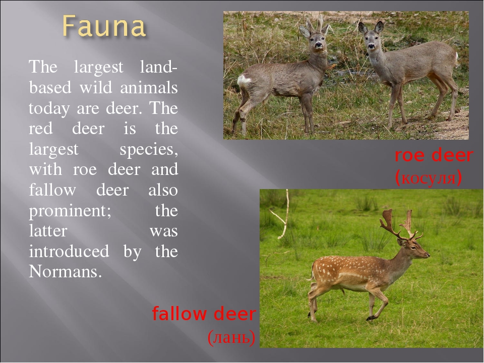 The largest land-based wild animals today are deer. The red deer is the large...